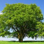 Faggio | Maestoso albero dalle numerose varietà: la coltivazione