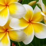 Frangipane fiore | Impariamo a coltivare la Plumeria