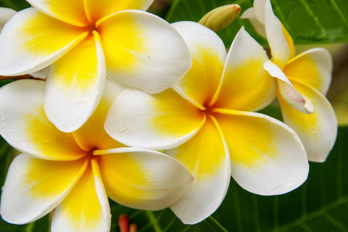 Piante Da Appartamento La Plumeria.Frangipane Fiore Impariamo A Coltivare La Plumeria