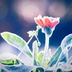Il freddo danneggia le radici? Uno sguardo alla primavera