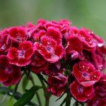 Garofanini | Cosa c'è da sapere: coltivazione e usi