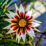 Gazania | I fiori che si aprono quando c'è il sole