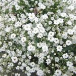 Gypsophila | Il fiore nella nebbia (o velo di sposa): la coltivazione