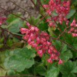 Heuchera | Le campane di corallo: guida alla coltivazione