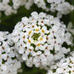 Iberis | Pianta apprezzata per i suoi fiori brillanti e profumati