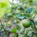Lime | Ecco come coltivarlo: i frutti e le proprietà