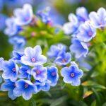 Lithodora | Arbusto dai bellissimi fiori blu reale