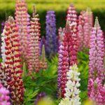 Lupino | Steli interamente ricoperti da fiori: come coltivarlo