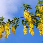 Maggiociondolo | Arbusto (velenoso?) dai bellissimi fiori gialli