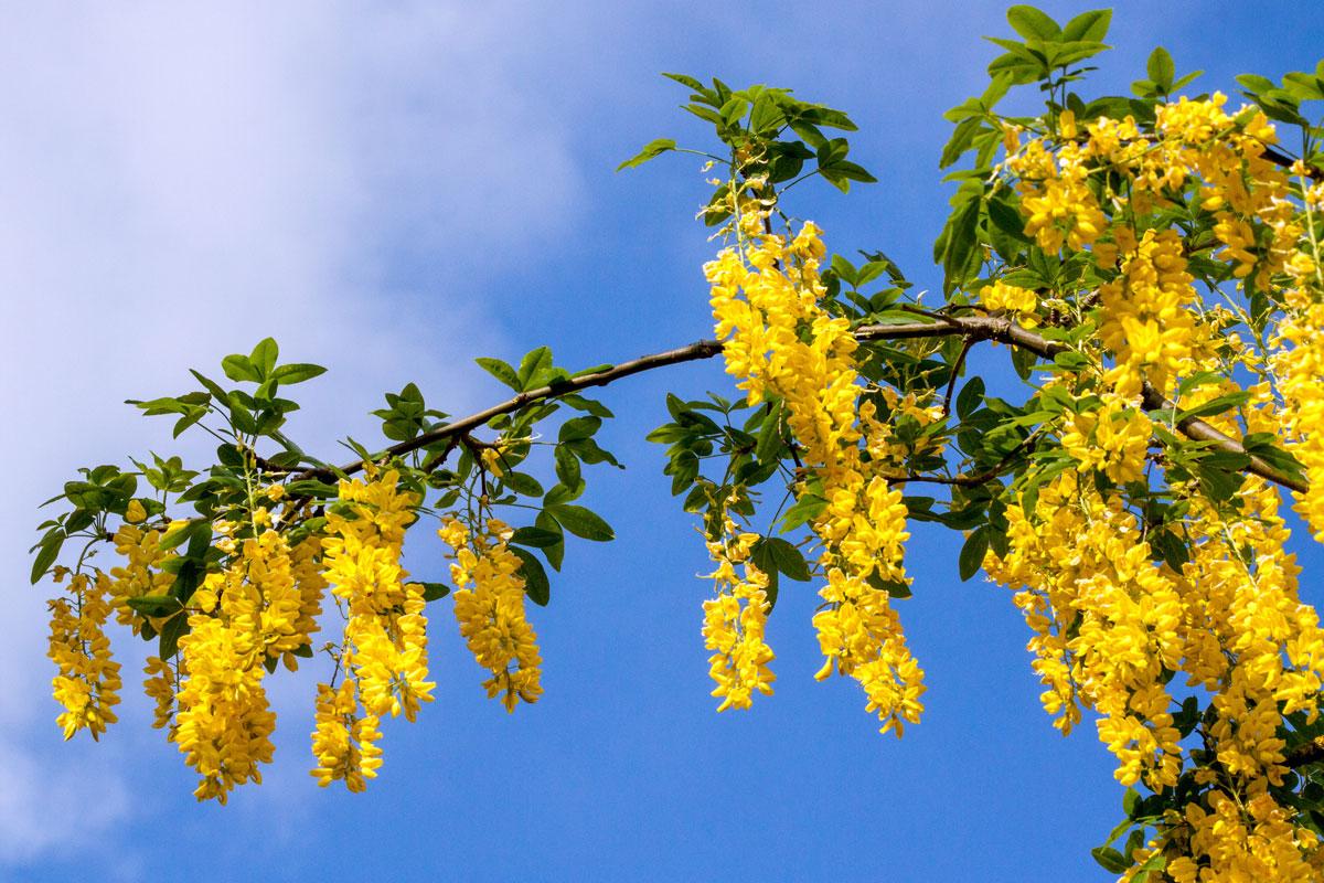 Fiori Gialli Maggio.Maggiociondolo Arbusto Velenoso Dai Bellissimi Fiori Gialli