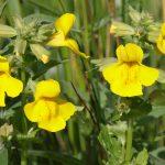 Mimulus | I fiori di Bach: coltivazione e usi