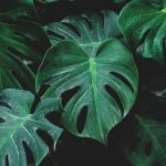 Monstera | Il Filodendro: ideale pianta da appartamento