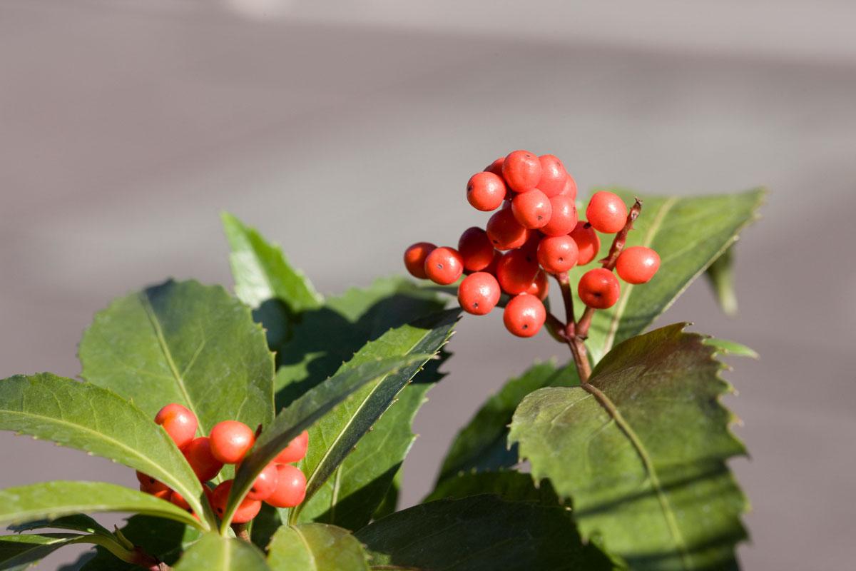 Nandina domestica fiori bianchi e bacche rosse in autunno - Piante da giardino con bacche rosse ...