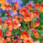 Nemesia | Graziosi fiori ideali per aiuole e vasi