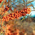 Olivello spinoso | Arbusto da siepe dalle eccellenti proprietà