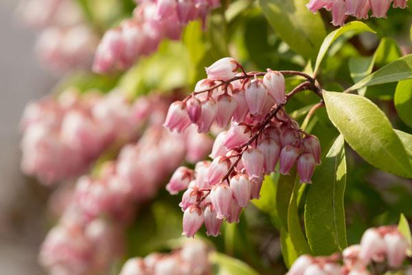 Pieris arbusto dai bellissimi fiori bianchi for Arbusto dai fiori rosa e bianchi