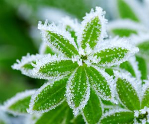 piante-gelate