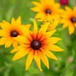 Rudbeckia | Utilizzata per formare macchie di colore