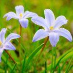 Scilla | Fioritura che annuncia la primavera