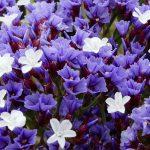 Statice | Guida alla coltivazione passo-passo del Limonium