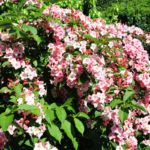 Weigelia | Arbusti decorativi ideali nelle bordure miste