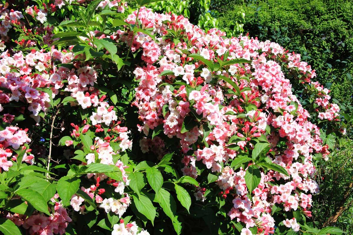 Cespugli Sempreverdi Con Fiori weigelia | arbusti decorativi ideali nelle bordure miste