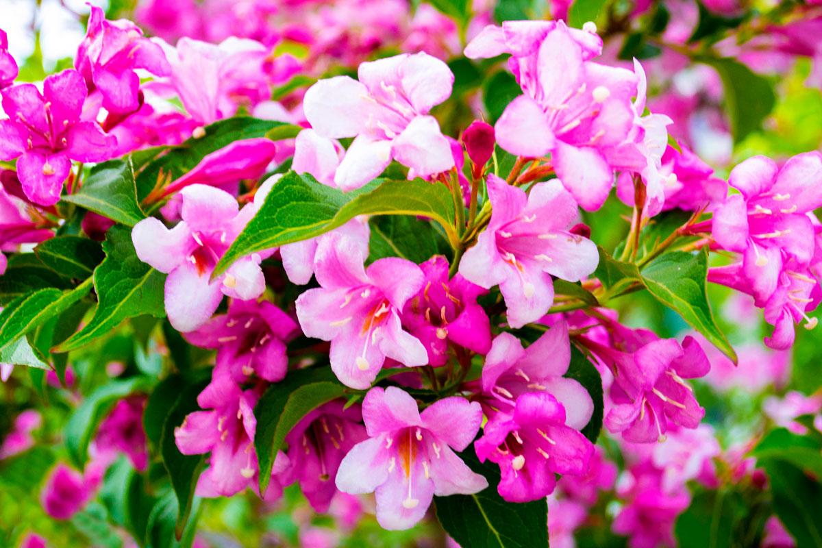 Arbusti Decorativi Da Giardino : Weigelia arbusti decorativi ideali nelle bordure miste