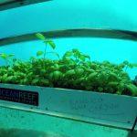 In Liguria il basilico cresce sotto il mare