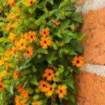 Thunbergia | Rampicante dai bei fiori arancioni e gialli
