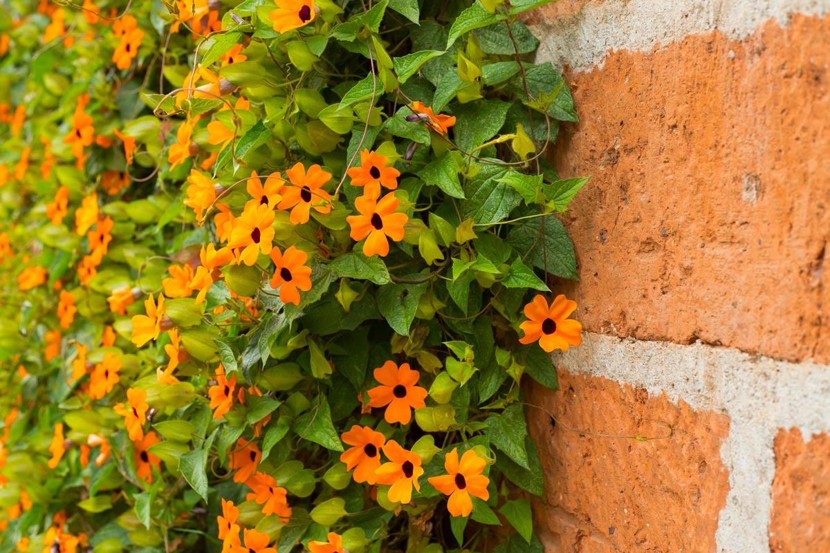 Piante Rampicanti Da Esterno thunbergia | rampicante dai bei fiori gialli