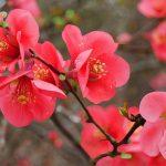 Cotogno | Arbusto dai fiori che brillano in primavera