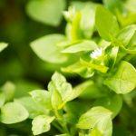 Crescione | Le varietà e la coltivazione