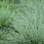 Festuca | La pianta ideale per prati e giardini rocciosi