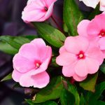 Impatiens | Il fior di vetro: varietà e coltivazione