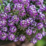 Lobularia | La pianta annuale dal profumo dolce come il miele