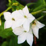 Nicotiana | Non solo tabacco, ma annuale dai bei fiori tubolari