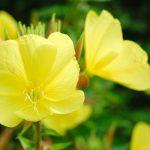Oenothera | La Stella d'Egitto: coltivazione e varietà