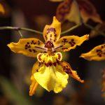 Oncidium | Orchidee dai bei mazzi recisi