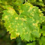 Peronospora, verticillosi e ticchiolatura | Le soluzioni per sconfiggerle