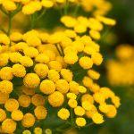 Tanaceto | Coltivazione, raccolta e utilizzi