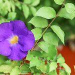 Thunbergia | Rampicante dai bei fiori gialli