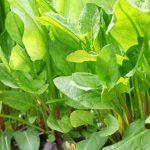 Acetosa | L'erba brusca che fa bene: coltivazione e utilizzi