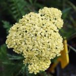 Achillea | Una perenne rustica ideale per mazzi recisi