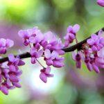 Albero di Giuda | Struttura, significato, coltivazione e utilizzi