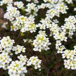 Alisso | Bianco, giallo e ideale per giardini rocciosi: come coltivarlo?
