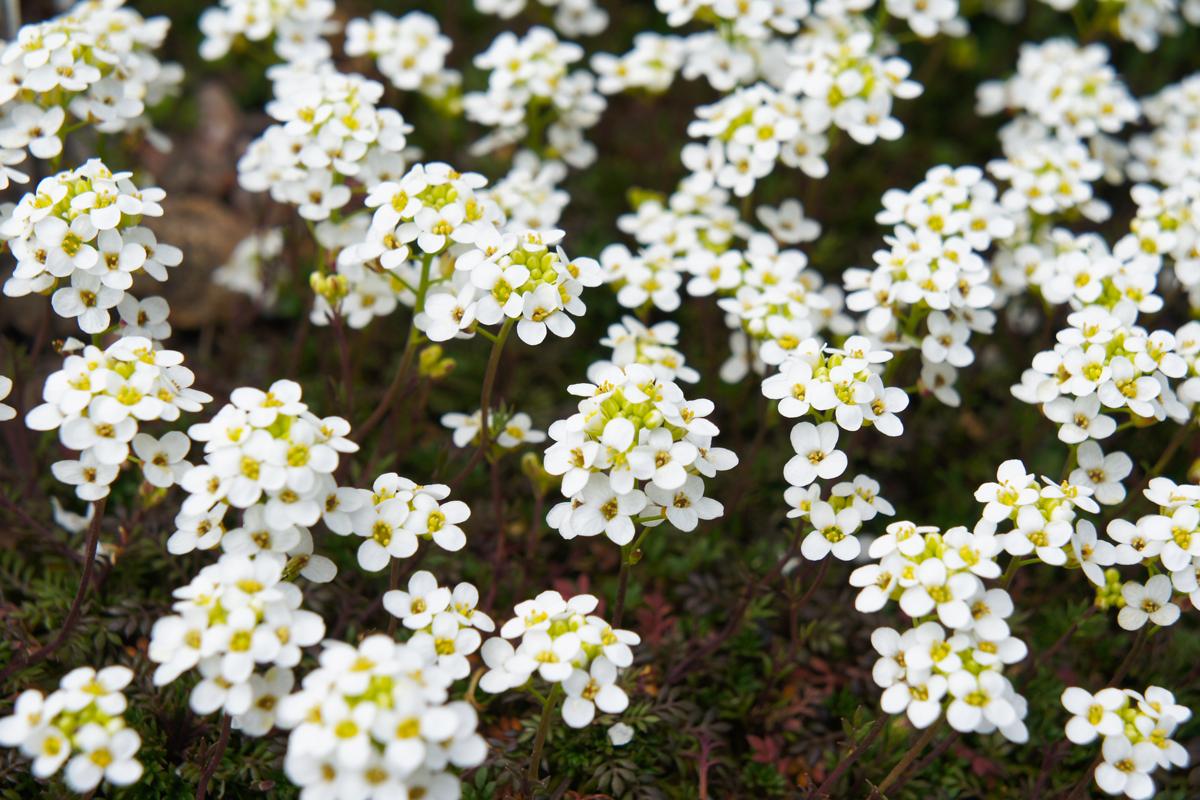 Piante Da Bordura Giardino alisso   bianco, giallo e ideale per giardini rocciosi: come