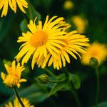 Arnica | La pianta impiegata da secoli nella medicina naturale