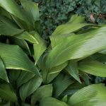 Aspidistra | La più resistente e longeva pianta d'appartamento