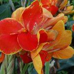 Canna indica | Perfetta per grandi aiuole da giardino