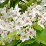 Catalpa | L'albero che regala l'ombra e allontana le zanzare